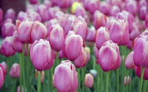 pink-tulips_1440_x_900.jpg