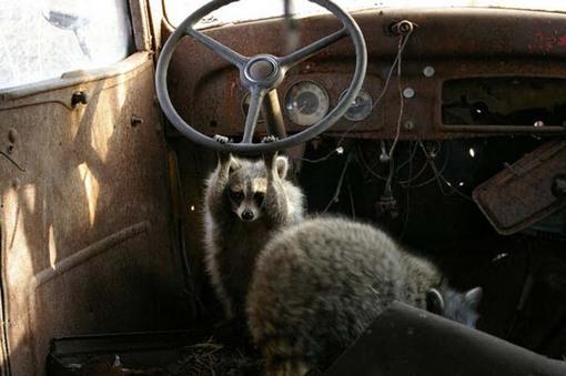 raccoonplay.jpg