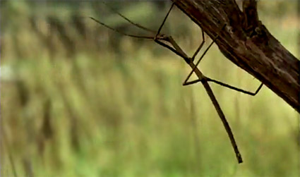 vanishing_stick_insect.jpg