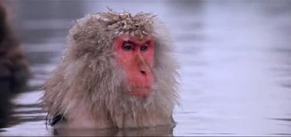 baraka_snow_monkey.jpg