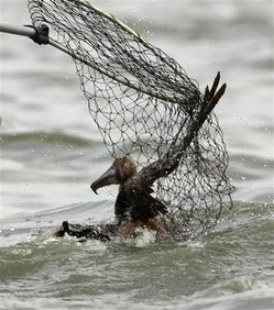 BP_Gulf_Oil_Spill_Affected_Wildlife_Images1.jpg