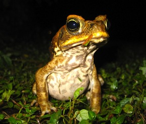 CaneToad_800x683_cropped.jpg