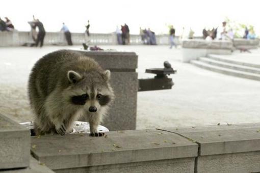 raccoonroof.jpg