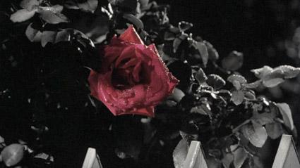 09_Rose.JPG