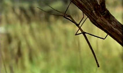 vanishing_stick_insect.jpg