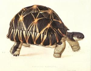 Edward_Lear-new_006_Radiated_Tortoise-Testudo_radiata_c1836_jr-Scanned_by_JmJ.jpg